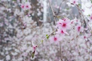 桜 銀座ソニーパーク