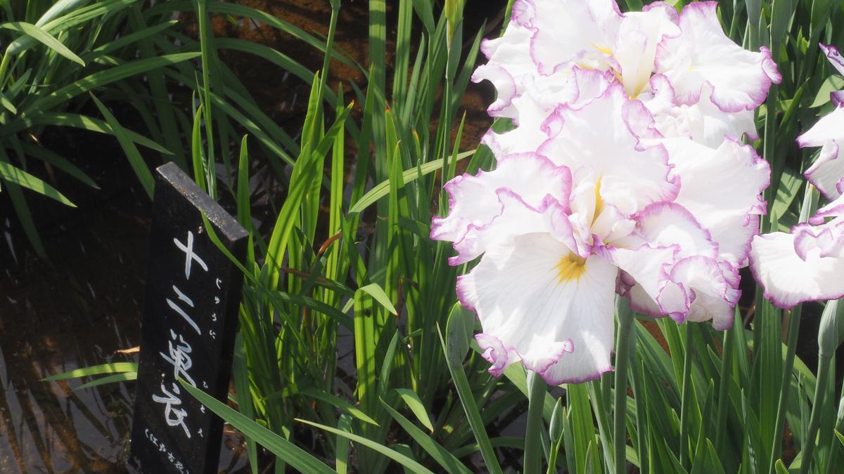 堀切菖蒲園 広重 花しょうぶ 浮世絵 葛飾区 観光 京成線